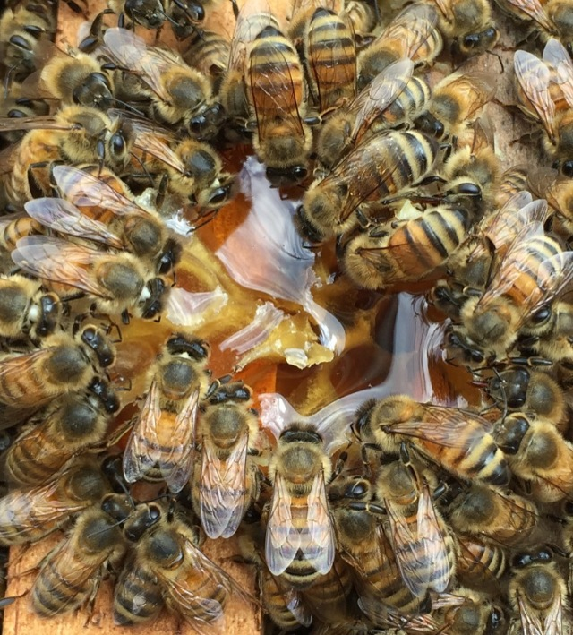 HHF Apairy Healthy Bees drinking honey